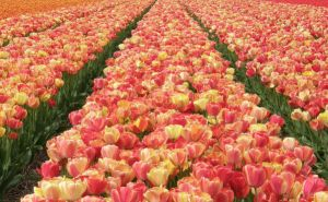 Dutch Tulips II by Jenvanw