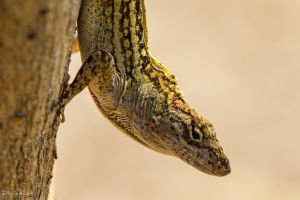 Interesting brown anole by LordMajestros