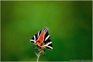 Greek butterfly in Austria by brijome