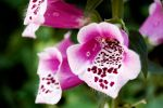 Foxgloves V by perfect12386