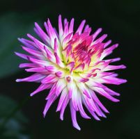 Purple and Cream Dahlia Redux by andras120