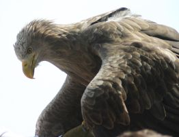 White-tailed Eagle V by Parides