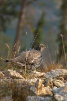 Blue Grouse by amzimme