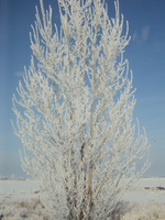 Frosted Tree by Fuzzy-Artemis