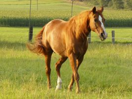 chestnut horse stock walking in the sun by Nexu4