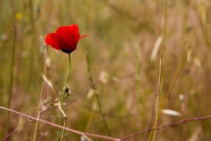 Red Poppy by alkimh