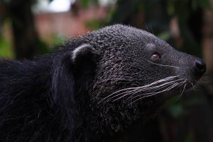 binturong by Byron20Four