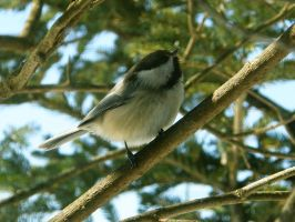 Chickadee Stock3 by NoxieStock