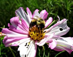 Bee on the Flower by Michies-Photographyy
