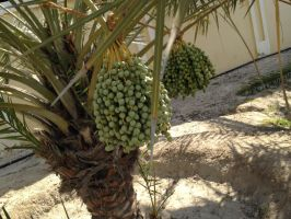 Date Palm by Toash