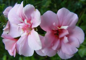 Baby Pink Pelargoniums 1 by Gracies-Stock