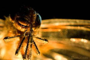 Dragonfly Macro 2 by SullenSquid