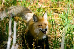 20100526-0222 Red Fox by Yellowstoned