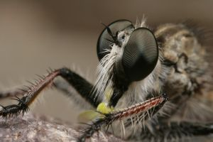 Cool Robber fly 2 by segraser