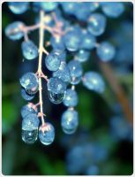 blue grapes by barefootphotos