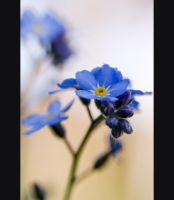 forget-me-not-2 by patstome