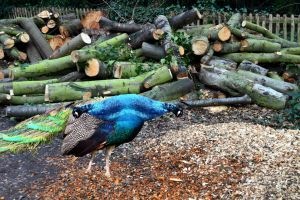 Holland Park Peacock Double Take by aegiandyad