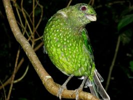 Green Catbirdy by ozplasmic