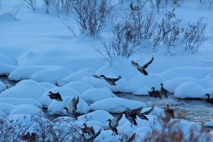 Ducks in the Snow by naptu