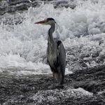 Heron on the River Nith by BlonderMoment