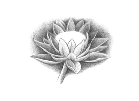 Lotus flower by tatosXL