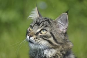 Silver - Maine Coon - Natural Portrait by Manu34