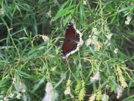 Mourning Cloak Butterfly 2 by Windthin
