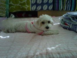 April the Maltipoo by sagethemouse