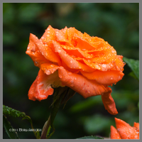 Rain Soaked Orange Rose by Mogrianne