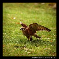 Falcon II by TVD-Photography