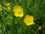 Buttercups by ValerieHeart