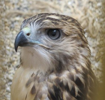 Young Red-Tailed Hawk 1 by Windthin