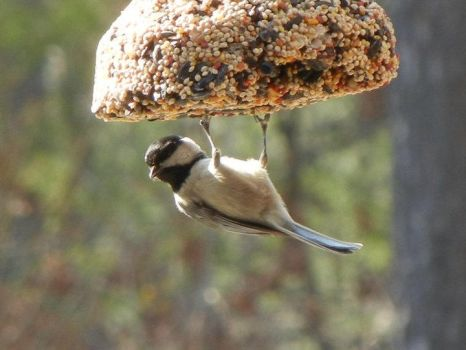 Chickadee Hanging Out by ImLittleKasey
