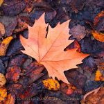 Autumn Leaf by Aeternum-designs