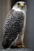 Rocky Gap Falcon by faolruadh