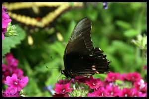 Black and Red Butterfly by shutterbugmom