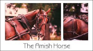The Amish Horse by WildFire8