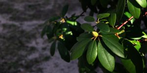 Rhodadendrum and Snow by ChrisTheJeweler