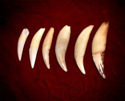 Real Lion Tooth Pendants by NaturePunk