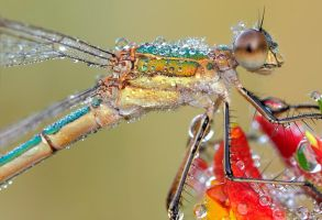 emerald damselfly by MartinAmm