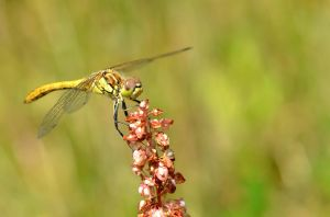 Dragonfly yellow by Lydiie