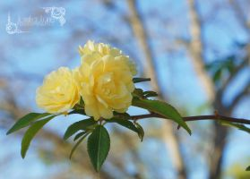 Yellow Rose of Texas by lanephotography