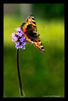 Beautifully balancing butterfly by LordLJCornellPhotos