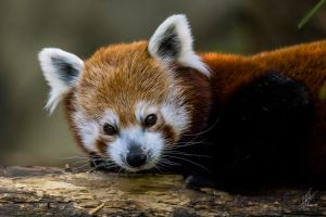 Red Panda 2150 by Daveinwilton
