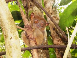 Philippine Tarsier by force2reckon