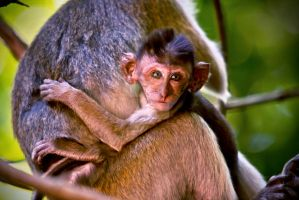 Baby Macaque by cathy001
