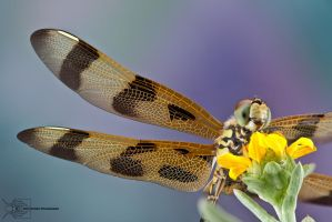 Halloween Pennant - Celithemis eponina by ColinHuttonPhoto
