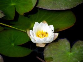Lily Pad by ziplague