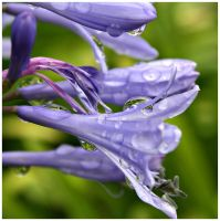 Agapanthus by Juliabohemian