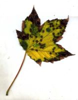 Autumn Leaf 3 by fioletta-stock